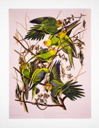 Cover image for Carolina Parakeet, from 'Birds of America', 1829